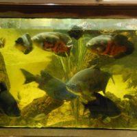 Pacus(Piranha),Barsche,Welse