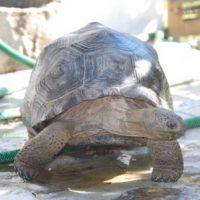 Riesenschildkröte Paula