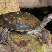 Wasserschildkröte Margot