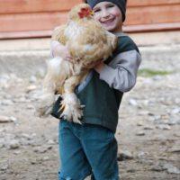 Brahmer Hühner